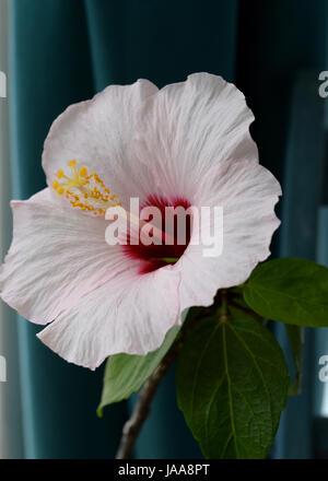 Belle fleur d'hibiscus rose pâle sur l'appui de fenêtre Banque D'Images