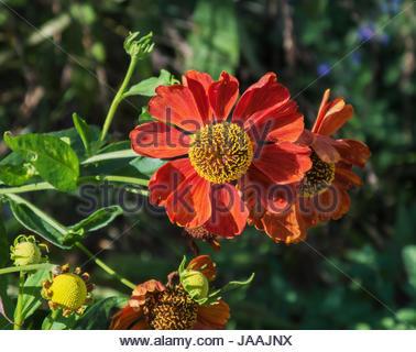 Helenium. Deux fleurs rouges sur fond vert. Banque D'Images
