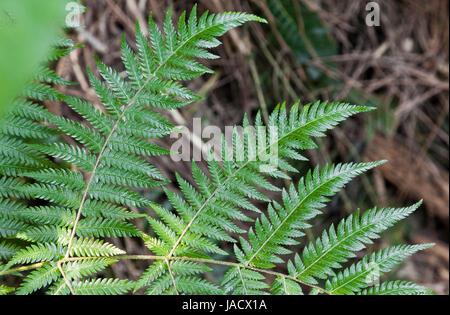 Frais Vert fougère de Nouvelle-Zélande d'artifices Banque D'Images
