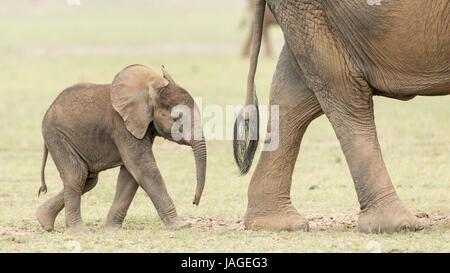 Bébé éléphant africain à la suite de sa mère dans le Parc national Amboseli au Kenya Banque D'Images