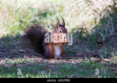 L'Écureuil roux Sciurus vulgaris sur Anglesey Banque D'Images