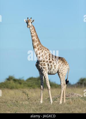 Femme girafe dans le sud de la région de Savuti Parc National de Chobe au Botswana
