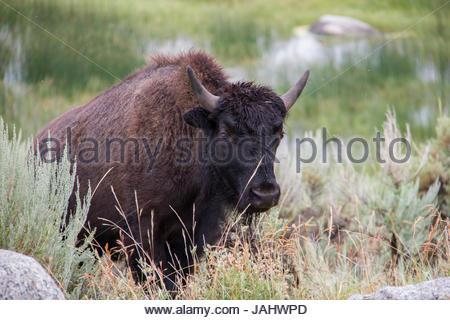 Portrait d'un bison dans un champ. Banque D'Images