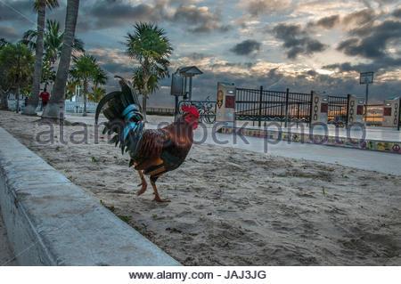 Coq sur Boson de plage de Key West, Floride. Banque D'Images