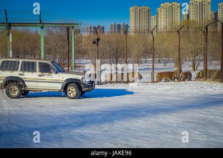 Siberian Tiger Park dans la région de Harbin, Chine Banque D'Images