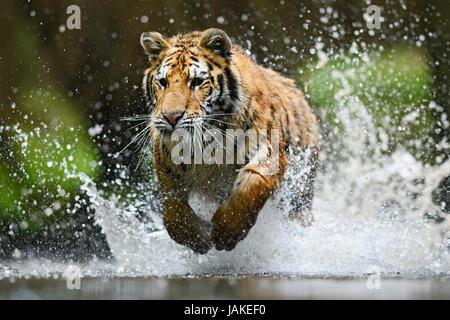 La chasse au tigre de Sibérie dans la rivière Banque D'Images