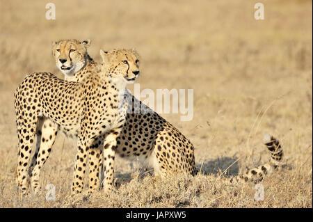 Deux guépards (Acinonyx jubatus) assis dans la prairie, le parc national du Serengeti, Tanzanie. Banque D'Images