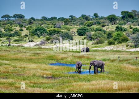 Troupeau d'éléphants brousse africaine, la rivière Boteti, Makgadikgadi-Pans-National Park, Botswana, Africa Banque D'Images