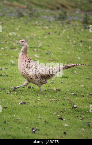 Faisan femelle en mouvement, Harewood House, dans le Yorkshire. UK Banque D'Images