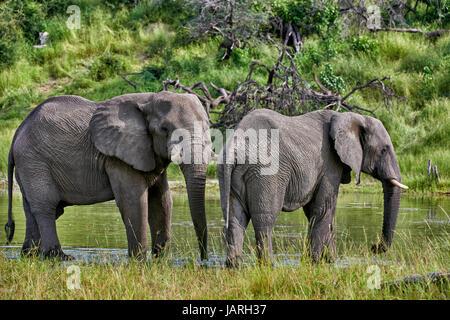 Bush africain elephant de boire à la rivière Boteti, Makgadikgadi-Pans-National Park, Botswana, Africa Banque D'Images