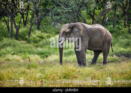 Bush africain éléphant à la rivière Boteti, Makgadikgadi-Pans-National Park, Botswana, Africa Banque D'Images