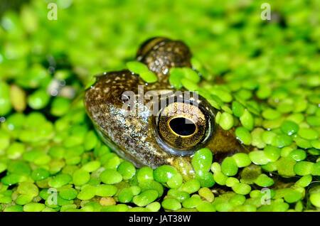 Grenouille Rousse (Rana temporaria) en étang de jardin, couverte de mauvaises herbes canard moindre (Lemna minor) Banque D'Images