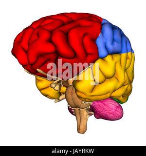 Rendu 3D d'un diagramme du cerveau humain isolé sur fond blanc Banque D'Images