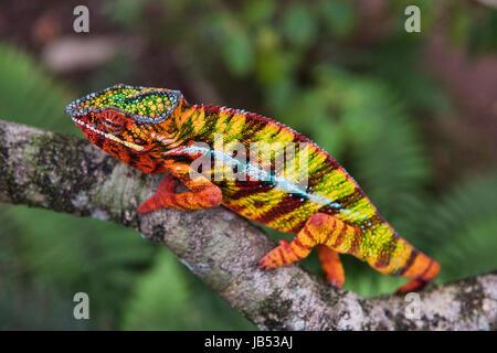 Caméléon Panthère colorée (Furcifer pardalis), Andasibe, Madagascar Banque D'Images