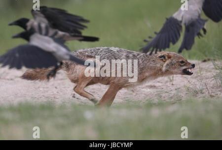 Le chacal doré ou européenne Jackal (Canis aureus) essayant de chasser les corbeaux