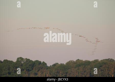 Grande bande de grande pélican blanc (Pelecanus onocrotalus) dans la distance dans le Delta du Danube en Roumanie Banque D'Images
