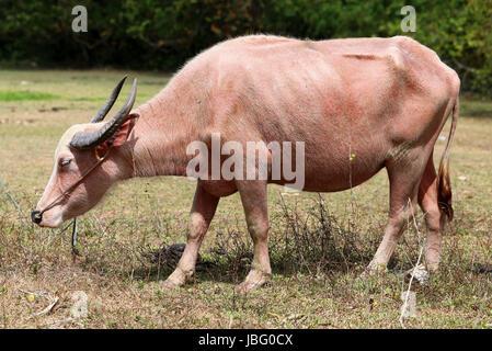 Red cow grazing on a meadow en Thaïlande à Koh Samui Banque D'Images
