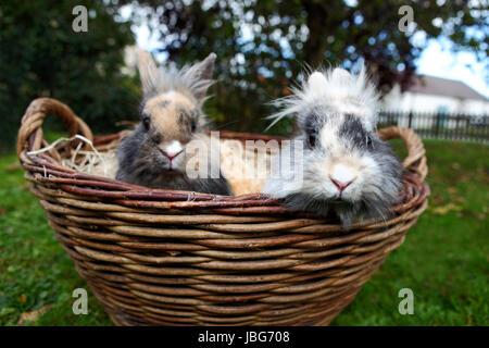 Les Jeunes lapins tête de lion dans un panier