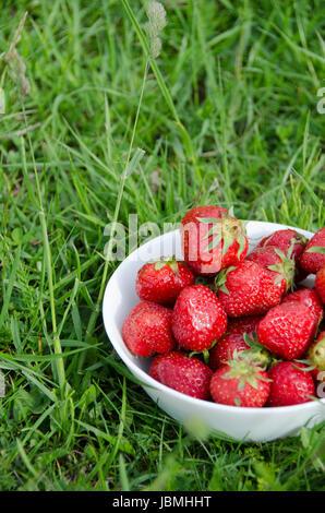 Les fraises fraîchement cueillies dans un bol blanc porcelaine dans les prés herbeux. Banque D'Images