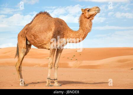 Image de chameau dans le désert Wahiba Oman Banque D'Images