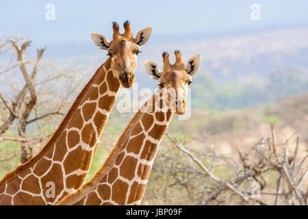 Deux girafes réticulée, Giraffa camelopardalis reticulata, adultes et juvéniles, regardant la caméra, Buffalo Springs Game Reserve, Kenya, Africa