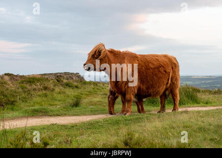 - Highland cattle Highland vache à bord Buxton dans le Peak District Banque D'Images