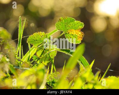 Libre de grandes feuilles vertes retour éclairé avec un bokeh printemps été Banque D'Images