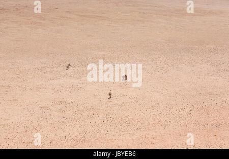 La désolation, l'éloignement: quatre mountain zebra (Equus zebra) debout dans le sombre, searingly chaud, sans caractéristique du désert du Namib, Namibie, Afrique du sud-ouest