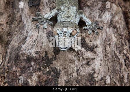 Gecko à queue de feuille moussus (Uroplatus sikorae), Parc national Parc Mantadia- Andasibe, Madagascar Banque D'Images