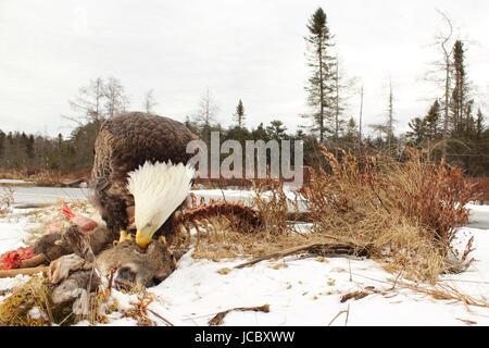 Un aigle à tête de manger l'offre globe oculaire d'un cerf, en hiver, dans les bois du nord. Banque D'Images