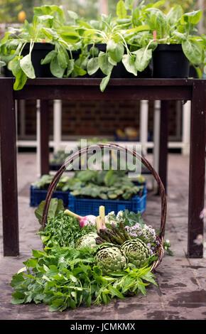 Panier de légumes fraîchement cueillis y compris les artichauts, l'ail et les asperges dans une serre UK Banque D'Images