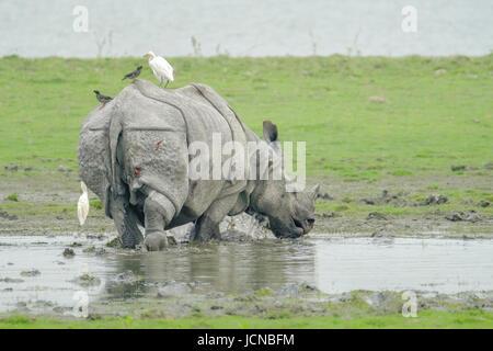 Espèce indienne en voie de disparition Rhino Rhinoceros, unicornis, espèce en voie de disparition dans le parc national du Kaziranga, Assam, Inde.