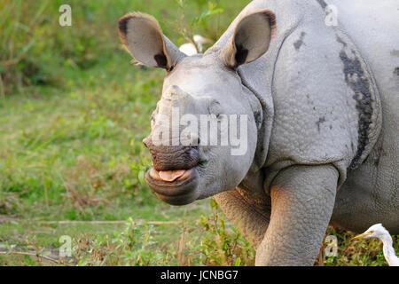 Rhinocéros indien (Rhinoceros unicornis) en portrait herbacé. Parc national de Kaziranga, Assam, Inde
