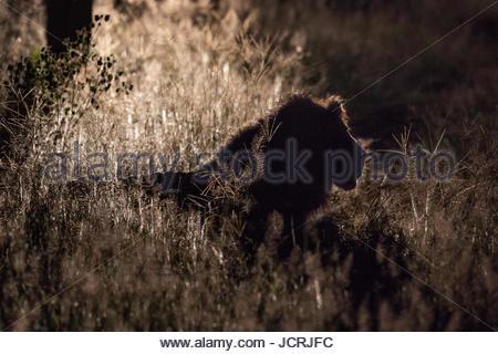 Un grand mâle lion, Panthera leo, le repos dans l'herbe haute. Banque D'Images