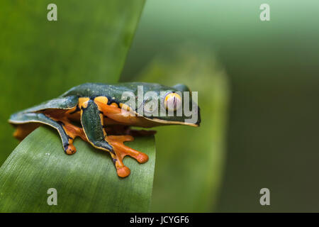 Splendid, Cruziohyla calcarifer, escalade sur une feuille, en forêt tropicale, Laguna del Lagarto, Boca Tapada, Banque D'Images