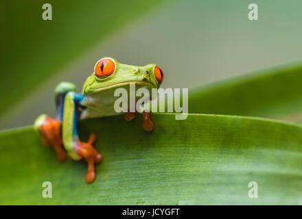 Red-eyed tree frog, agalychnis callidryas, escalade sur une feuille, à la recherche à la caméra, Laguna del Lagarto, Boca Tapada, San Carlos, Costa Rica