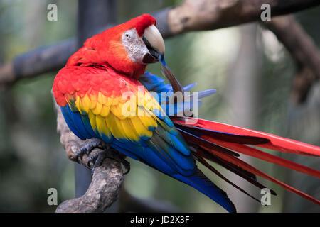 Parrot au Costa Rica Banque D'Images