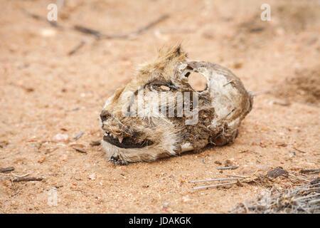 Chef d'un pourri coupé Guépard (Acinonyx jubatus) allongé sur le sol, GocheGanas réserve naturelle privée près de Windhoek, Namibie, sud-ouest de l'Afrique