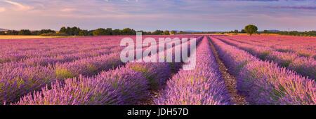 Lever de soleil sur les champs de lavande en fleurs sur le plateau de Valensole en Provence dans le sud de la France.