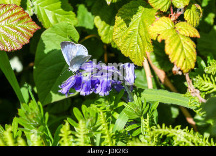 Un Holly Blue Butterfly (Celastrina argiolus) sur un Anglais Bluebell (Hyacinthoides non-scripta) flower Banque D'Images