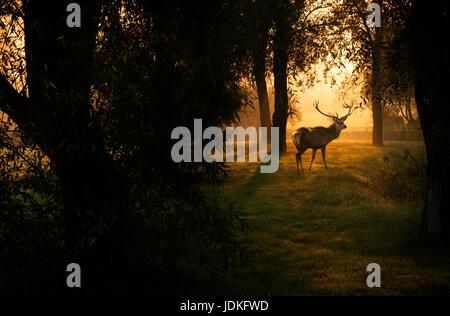 Chevreuil dans forêt d'automne Banque D'Images