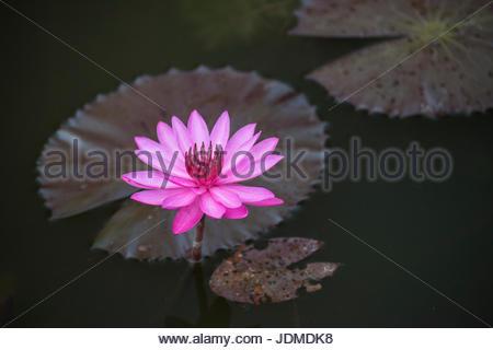 Fleur de Lotus dans un étang à Angkor Wat. Banque D'Images