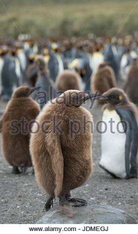 Le manchot royal juvénile debout dans un grand groupe ensemble sur une plage.