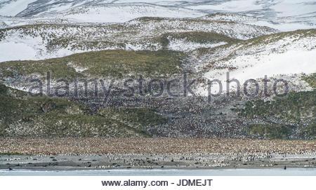 Manchot royal Aptenodytes patagonicus, colonie de reproduction, dans la plaine de Salisbury.
