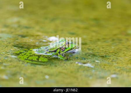 Portrait de la grenouille verte (Rana esculenta) assis dans l'eau Banque D'Images