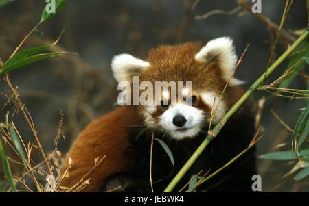 Petit panda, Ailurus fulgens, Banque D'Images