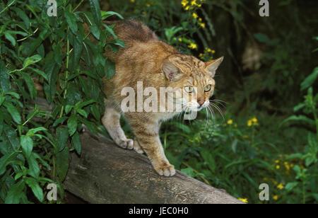 Chat sauvage européen ou la forêt cat, Felis silvestris, animal adulte, de la direction générale, Banque D'Images