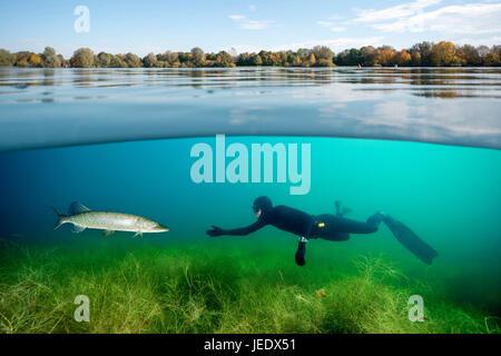 Hecht; Hecht im Flachwasser hechtartiger Raubfisch;;;;; Knochenfisch Süsswasserfisch Süsswasser Armleuchteralge Banque D'Images