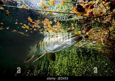 Europa; Deutschland, Bayern, Echinger Weiher, Hecht; Hecht im Flachwasser hechtartiger Raubfisch;;;;; Knochenfisch Banque D'Images