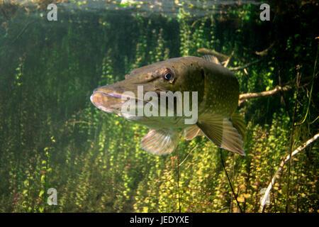 Hecht; Hecht im Flachwasser image Tausendblattgewächs Echinger, im Weiher, Bayern, Deutschland, hechtartiger Raubfisch;;; Banque D'Images